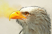Digitally enhanced close up image of the head and bill of a Bald Eagle (Haliaeetus leucocephalus) a North American bird of prey