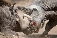 Common Warthog, Phacochoerus africanus, phacochère , Warzenschwein, facóquero común, Vanlig vortesvin, 疣豬, イボイノシシ, خنزير وحشي أفريقى