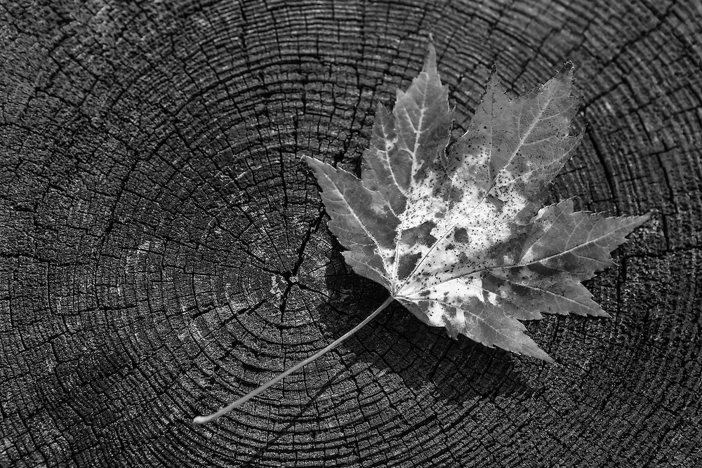 Maple Leaf Changing Color - Foothill Parkway - Autumn - Great Smoky Mountains - Black & White
