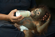Bornean Orangutan<br /> Pongo pygmaeus<br /> One year old infant bottle-feeding <br /> Orangutan Foundation International's Orangutan Care Center, Borneo, Indonesia