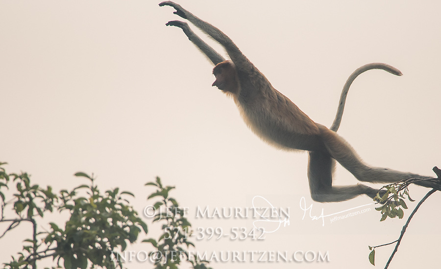 A proboscis monkey leaps from a tree in Tanjung Puting National Park on the island of Borneo, Indonesia.