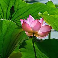 Vietnam Images-Flower-Hoa sen -Hoàng thế Nhiệm