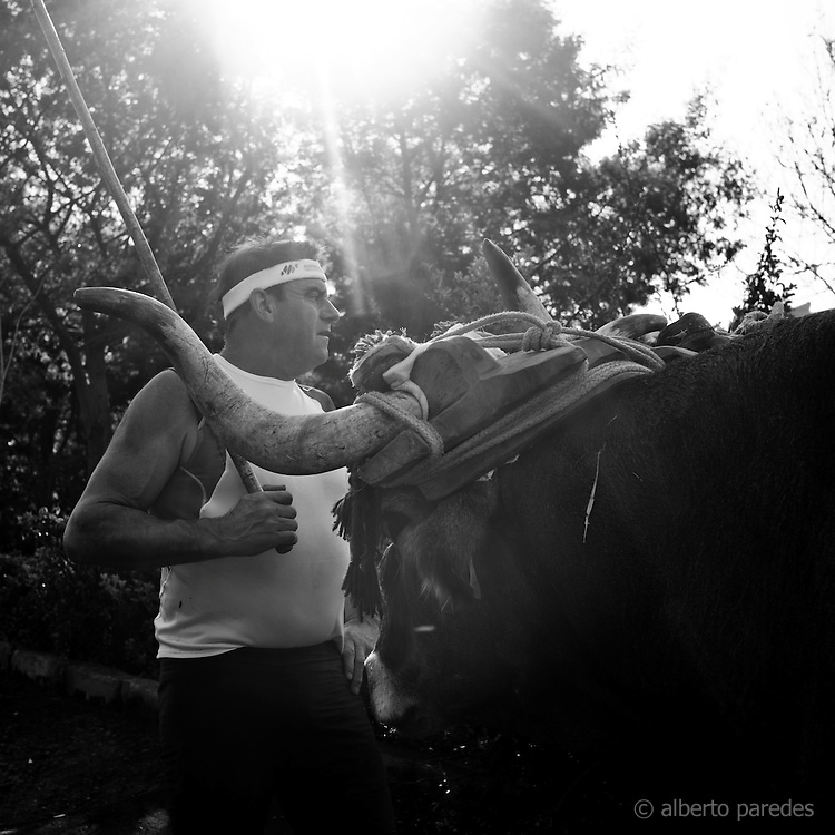 Jose Mari Olasagasti, wood cutter or aizkolari in Basque language. Walking with the oxes he uses to carry stones before training in his farm in Igeldo mountain, near San Sebastian. Basque rural sports (Herri Kirolak in basque language) are rooted in traditional lifestyles, mostly farmer occupations of the Basque Country, in Northern Spain. Nowadays they have transform themselves into sports based in strenght and skill. Stone lifting and wood chopping are the most popular.