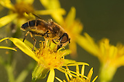 A drone fly is seen collecting nectar. Pollen grains are easily visible covering the fly. The drone fly is a very good mimic of the honey bee.