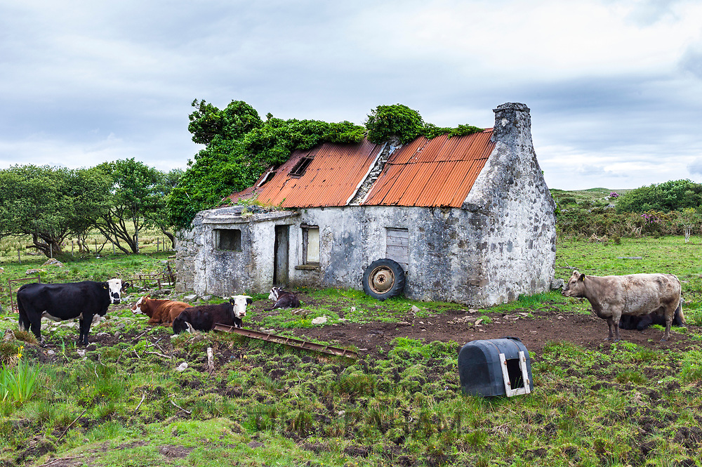 Cattle by old derelict cottage near Cashel, Connemara, County Galway