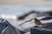 Rock Pipit posing on a rock at the shoreside on Runde, Norway | Skjærpiplerke som poserer på en stein i fjøra på Runde, Norge