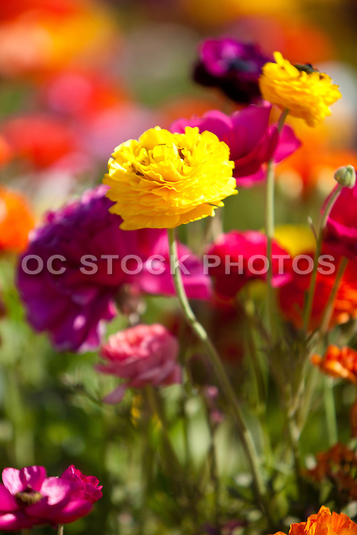 California Spring Flowers