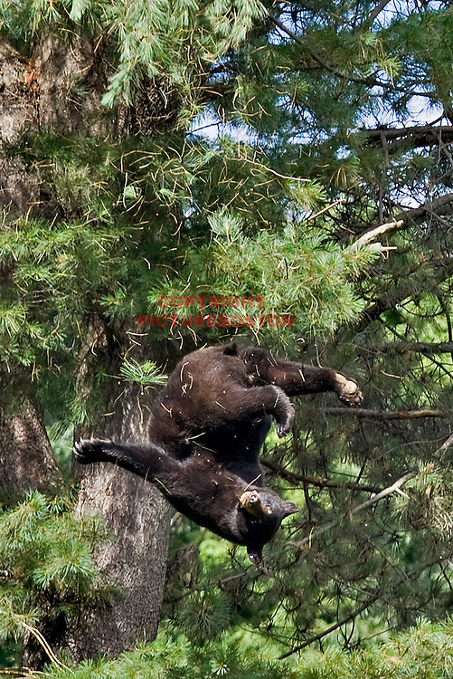 A Black Bear is seen falling from a tree believed to be at least 80 feet tall, near Hammond St in Brookline today, June 26, 2012. He had just been tranquilized by Environmental Police officers. The bear survived the fall and was driven far from the city limits. Photo: Mark Garfinkel/Boston Herald