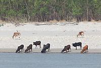 Cows drinking from a river, Bardiya National Park, Nepal