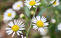 A group of wild daisies in bloom