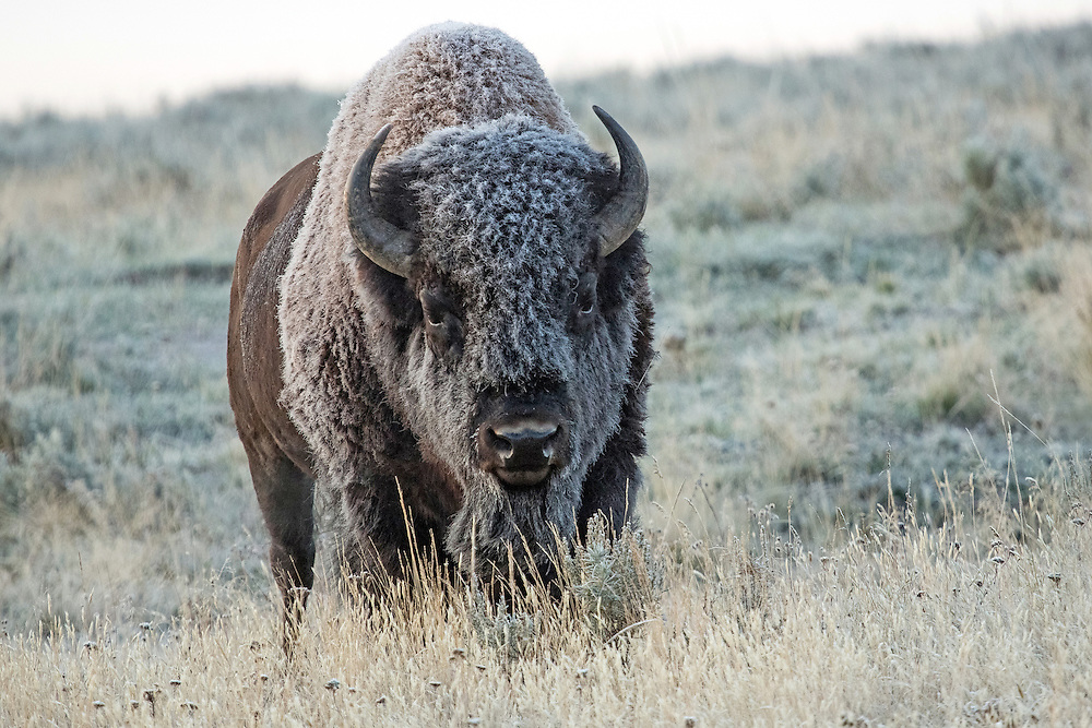 Summer is short in Yellowstone and as September approaches, days grow shorter and temperatures begin to drop. It is not uncommon for early morning temperatures to be in the single or double digits, letting you know that winter is right around the corner.