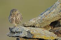 Little owl, Athene noctua, La Serena, Extremadura, Spain