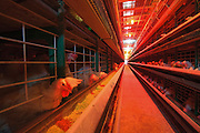 Battery Farming Hens in batteries