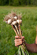 Harvesting garlic at Wild Shepherd Farm in Athens, Vermont for the Vermont Land Trust