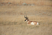Pronghorn (Antelope) in short-grass prairie habitat