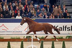 453, Knappe Jonge<br /> KWPN Stallionshow - 's Hertogenbosch 2018<br /> © Hippo Foto - Dirk Caremans<br /> 02/02/2018