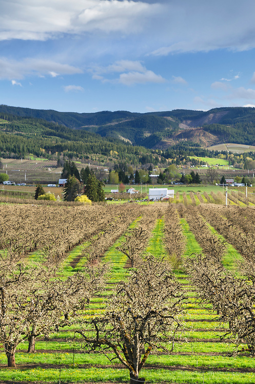 Orchards in spring bloom, Hood River Valley Oregon