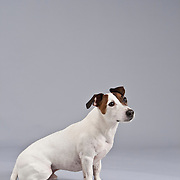Calm Jack Russell Terrier seated on gray background.