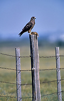 Ferruginous Hawk (Buteo regalis) perched on fence post with Columbian ground Squirrel, Calgary, Alberta, Canada - Photo: Peter Llewellyn