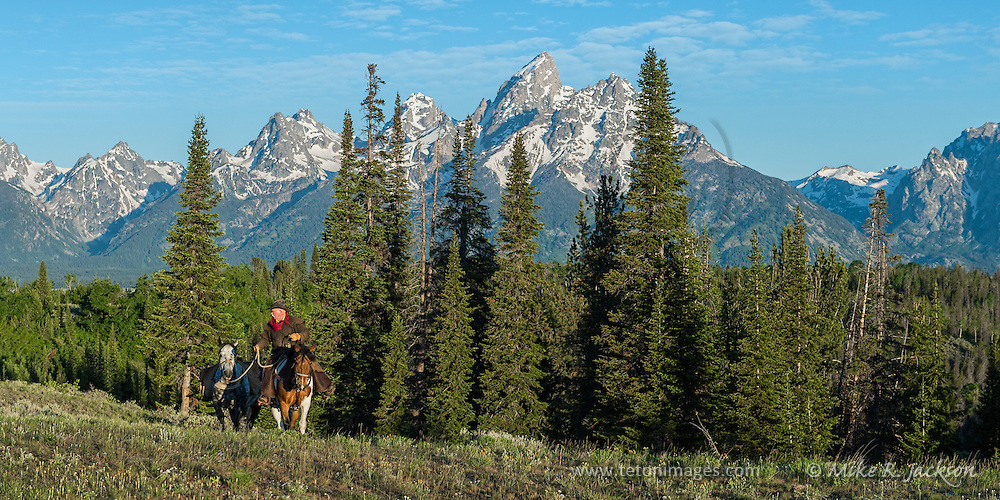 Wrangler checks on his horse as they exit a stand of spruce trees in Jackson Hole, Wy. The majestic Grand Teton mountain range dominate the distant landscape.