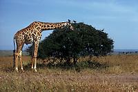 Giraffe in Kenya - photograph by Owen Franken