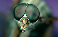 DEU, Deutschland: Porträt von einer Schnepfenfliege (Rhagio scolopaceus), Nahaufnahme | DEU, Germany: Snipe-fly (Rhagio scolopaceus), insect portrait, close-up |