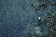 Bald Eagle<br /> Haliaeetus leucocephalus<br /> Glendale River, British Columbia, Canada