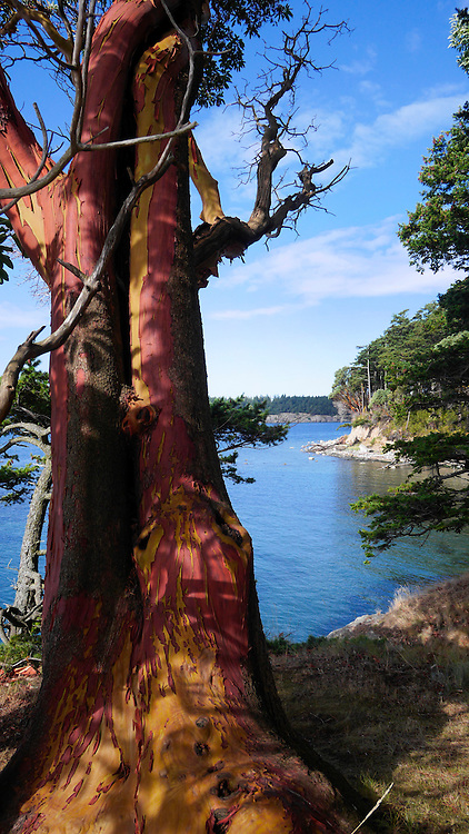 Madrona Tree, Clark Island, San Juan Islands, Puget Sound, Washington State