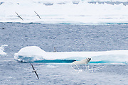A male polar beer walks emerges from the ocean onto sea ice, off the coast of Spitzbergen, Svalbard, Norway.