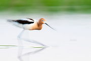 American Avocet, Recurvirostra americana, South Dakota