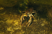 Narrow-clawed crayfish or Danube crayfish (Astacus leptodactylus) hiding in the weed, Danube Delta, Romania. This is a species of crayfish imported and introduced to Central Europe in 19th century from the Caspian Sea. Other names Galician crayfish or Turkish crayfish.