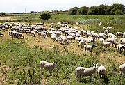 Flock of sheep grazing on Oxley Marshes, Hollesley, Suffolk, England, UK