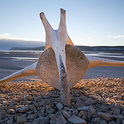 Single vertebrae bone of a bowhead whale (Balaena mysticetus) on a slope overlooking Cunningham Inlet, Somerset Island in Nunavut Province, Canada. Photographed late at night, during the long twilight of the Arctic summer.