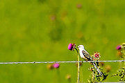 Scissor-tailed Flycatcher (Tyrannus forficatus sitting on a barb wire fence