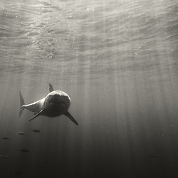 A great white shark appears in the clear, warm waters off Guadalupe Island, Mexico.