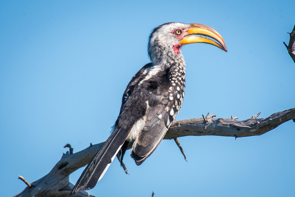 A yellow-billed hornbill sits perched in the sunlight on a branch. Zimbabwe