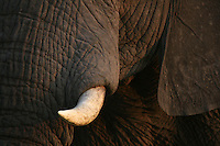 The skin and tusk are unmistakable signs of this lovely creature: the african elephant. The stunning beauty of the white bone emerging from the rough rugged dark skin shows this animal's strenght and at same time recalls the old origin of the elephant in the shape of a Mammoth.