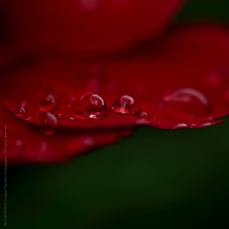 macro photography: rain drops on deep crimson red petal