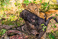 Female lions eating the carcass of a wildebeest, near Kwara Camp, Okavango Delta, Botswana.