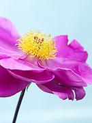 Paeonia lactiflora 'Bethcar' - peony