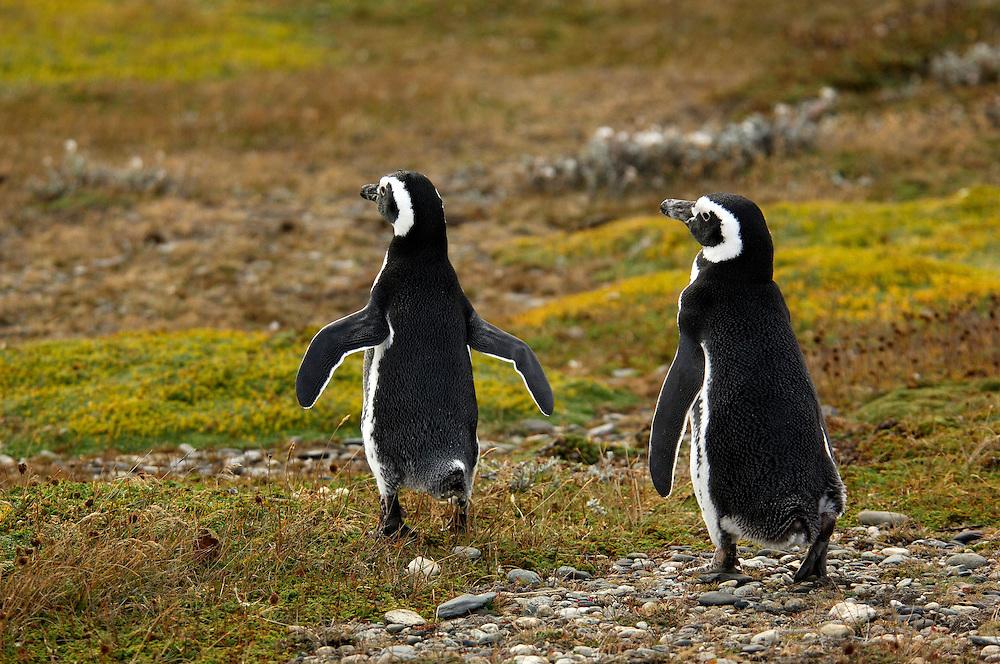 Magellanic Penguins (Spheniscus magellanicus) Ottway Sound, near Punta Arenas, Magallanes, Patagonia, Chile