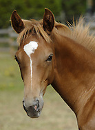 "warmblood colt ""oli"""