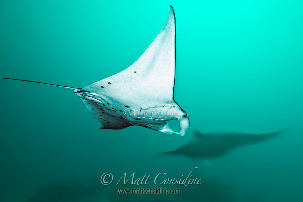 Manta Rays swoop past feeding on plankton in the water. (Photo by Matt Considine - Images of Asia Collection)
