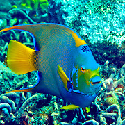 Queen Angelfish inhabit reefs and surrounding areas in Tropical West Atlantic; picture taken Tobago.