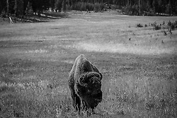 Bison grazing in the meadow