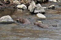 Two junvenile otters foraging / fishing in River Tweed,<br /> Lutra lutra,<br /> Scotland - March