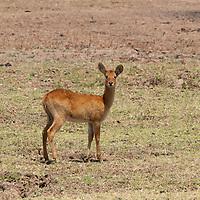 Baby puku antelope in a field in Zambia.