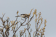 Northern shrike perched in willow tree.