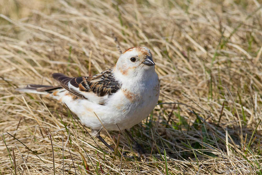 A snow bunting (Plectrophenax nivalis) rests in a grassy prairie on the Icelandic island of Grímsey. Snow buntings breed in the high-Arctic tundra. This particular snow bunting is a female displaying its breeding plumage.