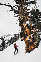 Jacki Arevalo stands below an ancient limber pine in the Days Fork, Wasatch Mountains. During the late 1800's to early 1900's the forests of the Wasatch were clear cut. Much of what is seen today is what has been replanted, beginning in the 1920's. Ocassionally while hiking the Wasatch you may come across one of these gradfather trees… some believe they were left standing because they were too twisted to be used for lumber.